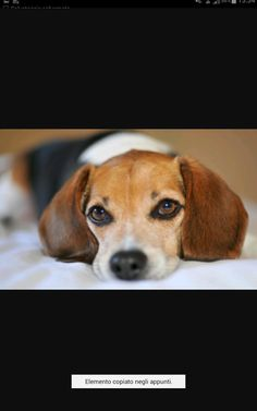 Are you interested in a Beagle? Well, the Beagle is one of the few popular dogs that will adapt much faster to any home. Cute Beagles, Cute Puppies, Cute Dogs, Dogs And Puppies, Dog Breed Info, The Lone Ranger, Dog Wallpaper, Dog Eyes, Beagle Puppy