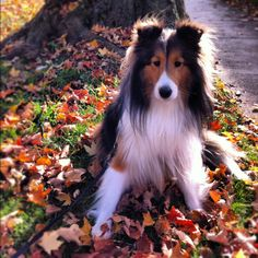 Fall Sheltie. Shetland Sheepdog art portraits, photographs, information and just plain fun. Also see how artist Kline draws his dog art from only words at drawDOGS.com #drawDOGS http://drawdogs.com/product/dog-art/shetland-sheepdog-dog-portrait-by-stephen-kline/ He also can add your dog's name into the lithograph.