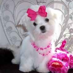 free-ads.eu - Dogs - Puppies classifieds: cute and adorable home trained Maltese puppies