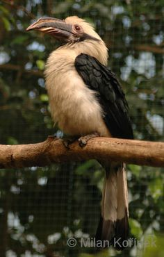 Penelopides affinis samarensis - Samar Hornbill