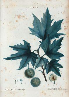platanus orientalis (platane d'orient)