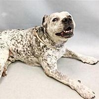 New York, New York - Pit Bull Terrier. Meet Browdy, a for adoption. https://www.adoptapet.com/pet/21149288-new-york-new-york-pit-bull-terrier