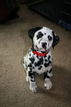 dalmatian Adorable but Jon doesn't want a Dalmatian ): ):