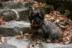 Colonel Skipperdee The Cairn Terrier