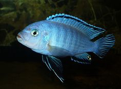 "Pseudotropheus socolofi (Mara Point & Tumbi Point): ""powder blue"" - 6"""
