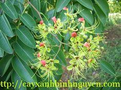 Cây Gõ Đỏ hay còn gọi là Càte, Doussie, tên khoa học là: Afzelia xylocarpa, thuộc họ thực vật: Fabaceae, có nguồn gốc từ các Đông Nam Á