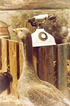 húska Bird, Animals, Animales, Animaux, Birds, Animal, Animais