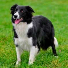Border collie- this is what my Lady used to look like when she was younger.  It's hard watching her get so old & wasting away :-(