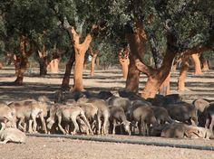 Cork trees in Portugal's Alentejo region