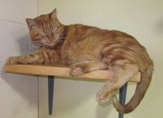 Fur Everywhere: Mancat Mason Searches for His Home: Opt to Adopt