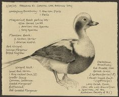 This is a Long-tailed Duck by Catherine Hamilton; one America's finest talents. She has a website at http://mydogoscar.com/birdspot/
