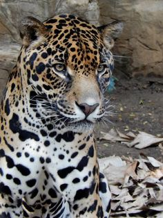 El Refugio Foundation is a Cali-based non-profit organisation providing shelter for 120 wildlife animals saved from illegal trade Jaguar, Types Of Animals, Big Cats, Panther, Shelter, Wildlife, Animales, Shelters