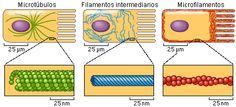 Citoesqueleto; Filamentos Citoplasmáticos; Filamentos Citoesqueléticos; Filamentos Entrelaçados Microtrabeculares