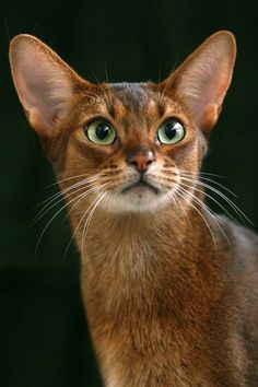 Abyssinian cat breeds resembles the famous sculptures and paintings of ancient Egyptian cats that had elegant beautiful, muscular body with an arched neck, beautifully shaped eyes that look very much like an almond and large sized ears. Cute Cats And Kittens, Cool Cats, Kittens Cutest, Warrior Cats, Pretty Cats, Beautiful Cats, African Wild Cat, Gatos Cool, Gato Grande
