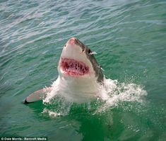 The shark breached the surface several times as it 'sniffed the air' in a bid to discover its next dinner