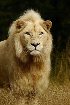 ~~Africa   White Lion by Nelis Wolmarans~~