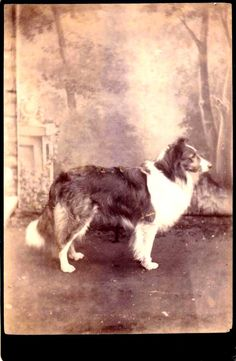 Cabinet photo of Collie: reminds me of my childhood friend, Laddie. Rough Collie, Collie Dog, Collie Breeds, Border Collie Pictures, Border Collies, Dog Photos, Dog Pictures, Welsh Sheepdog, Scotch Collie