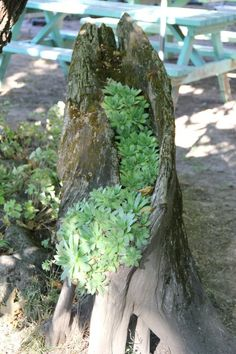 Hens & Chicks in a tree stump
