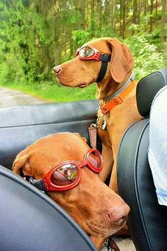 Two dogs with glasses. Vizsla Puppies, Dogs And Puppies, Vizsla Dog, Weimaraner, Doggies, Silly Dogs, Cute Dogs, Dog Christmas Clothes, Sweet Dogs