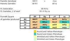 dihybrid cross 9:3:3:1 ratio explained   Genetics (Unit 4 ...
