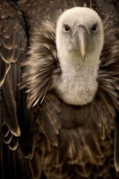 Griffon-wildlife-photography- vulture- my next tattoo! Pretty Birds, Beautiful Birds, Animals Beautiful, Cute Animals, Wild Life Animals, Pretty Animals, All Birds, Birds Of Prey, Love Birds