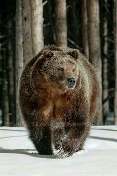 Grizzly and black bear sightings are the best in May & June as bears feed on winter kill, dug new roots, and dig out insects.In later summer, bears retreat to higher altitudes. Want to see the bears at Yellowstone National Park in Wyoming. Nature Animals, Animals And Pets, Cute Animals, Wild Animals, Baby Animals, Bear Pictures, Animal Pictures, Ours Grizzly, Grizzly Bears