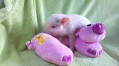 Teacup Piglets That Are Even Cuter Than Kittens | Me And My Favorite Toy