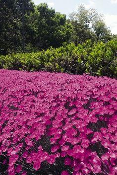 Dianthus 'Kahori' (Hardy pink)
