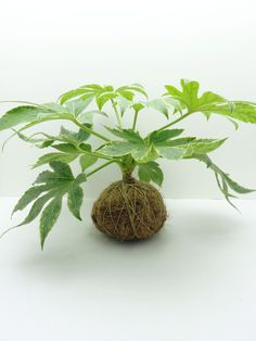 Kokedama A 90s spin-off from the bonsai art form, 'kokedama' translates from the Japanese to 'moss ball'. Traditionally wrapped in living moss, at Greenovia Crafts we use a variety of lower maintenanc