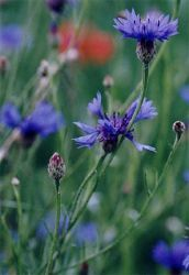 Benefits of Cornflower