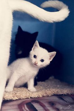 mostlycatsmostly:  Little Cherub. Mum and kittens rescued by Kitty Cat Cove -  New South Wales, AU (by Jo Lyons Photography)
