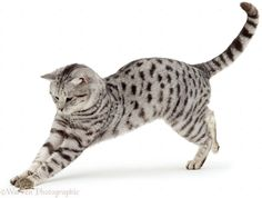 pouncing cat - Google Search