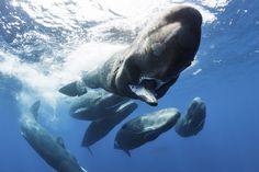 Photographing a Superpod of Sperm Whales | Atlas Obscura