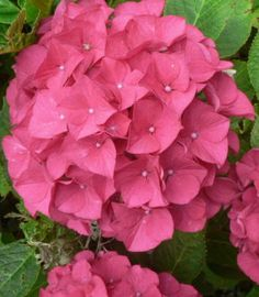 Ortensia - Hydrangea macrophylla 'Harry's Red'