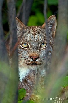 Denali Lynx, Denali National Park, Alaska, USA.