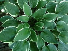 Hosta plant Light:Sun,Part Sun,ShadeZones:3-9Plant Type:PerennialPlant Height:To 5 feet tallPlant Width:To 4 feet wideLandscape Uses:Containers,Beds & Borders,Privacy,Slopes,GroundcoverSpecial Features:Flowers,Attractive Foliage,Fragrant,Cut Flowers,Drought Tolerant,Tolerates Wet Soil,Easy to Grow