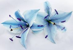 Blue Lilies And White Roses Handmade gumpaste roses and blue stargazer lilies Rose Tattoos, Skull Tattoos, Flower Tattoos, Ribbon Tattoos, Art Tattoos, Sleeve Tattoos, Tatoos, Lily Wedding, Wedding Bouquets