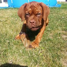 Welpe: Bordeaux-Dogge