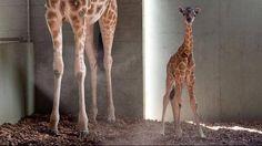 Australia Zoo's new giraffe. Photo: Australia Zoo.