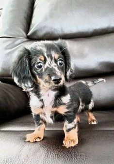 "Visit our website for additional details on ""dachshund puppies"". It is a great spot to get more information. Dachshund Breed, Dachshund Puppies For Sale, Dachshund Love, Dogs And Puppies, Poodle Puppies, Cute Baby Animals, Funny Animals, Weenie Dogs, Doggies"