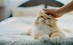 Télécharger fonds d'écran Chat persan, Moelleux, chat, animaux mignons, le gingembre, le chat, les animaux de compagnie