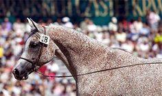Aneksja - heavily fleabitten arabian mare