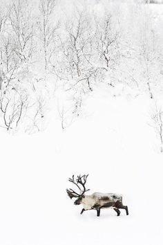 Reindeer in the snow. No reindeer in Colorado. Winter Snow, Winter White, Winter Christmas, Merry Christmas, Cozy Winter, Winter Walk, Reindeer Christmas, Snow White, Winter Road