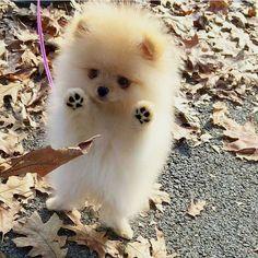 Pomeranian  #LL, #LiveLovely, #Elegant