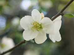 Chaenomeles speciosa 'Nivalis' (Japanese Quince) is a spreading, deciduous shrub with abundant clusters of pure white flowers, up to 1.5 in. across (3-4 cm). Borne on thorny, tangled branches, they bloom in profusion for a few weeks in early spring