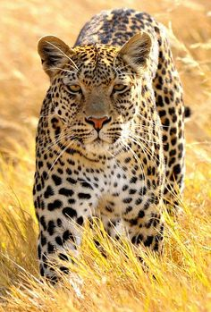 ♂ leopard