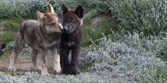 wolf pups, © Peter Mather/National Geographic Creative