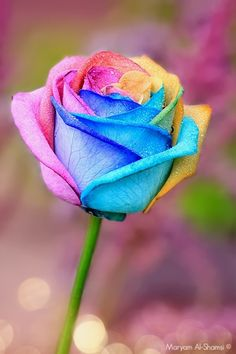 Rainbow rose - I would love to have this in my garden! Más Rainbow rose - I would love to have this in my garden! Beautiful Rose Flowers, Exotic Flowers, Amazing Flowers, Beautiful Flowers, Wallpaper Flower, Rainbow Flowers, Neon Flowers, Black Flowers, White Roses