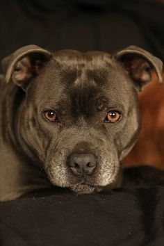 Pit Bull Terrier American My Jarppi ( blue Staffie) Beautiful Dogs, Animals Beautiful, Adorable Animals, Rottweiler, Blue Staffy, Pit Bull Love, Bull Terrier Dog, Mundo Animal, Dog Life