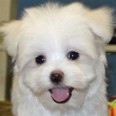 maltese :) I want one! They are always smiling.